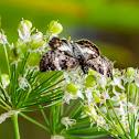 Dusky wing Butterfly