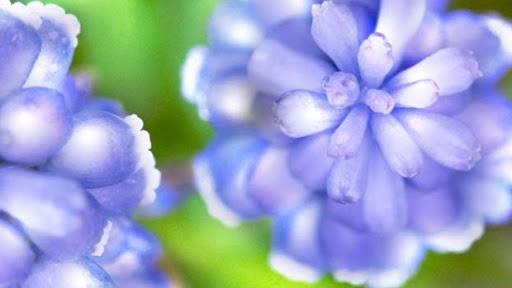 image de fleurs bleues