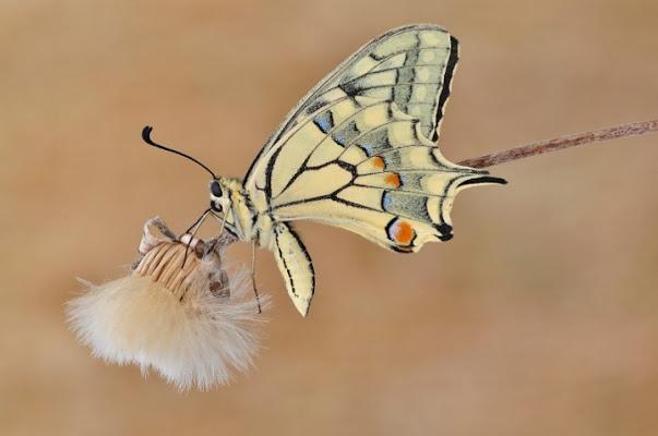 Leggero come una farfalla di jappone