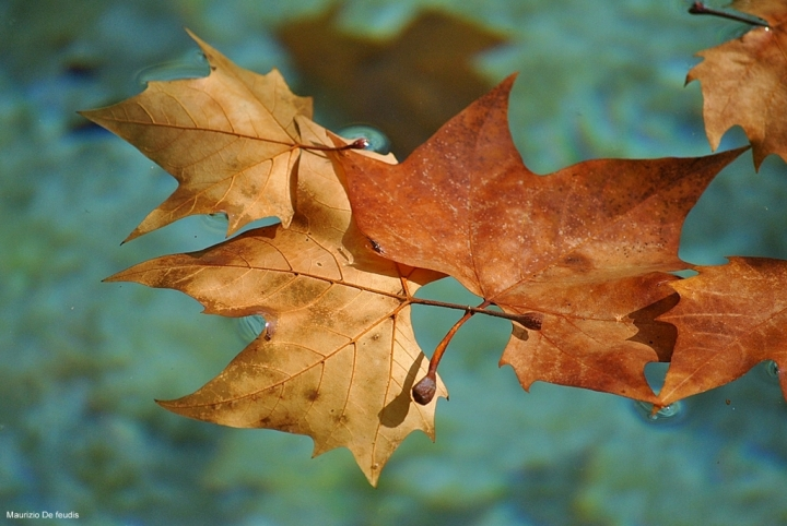 Floating leaves di mauriziodf
