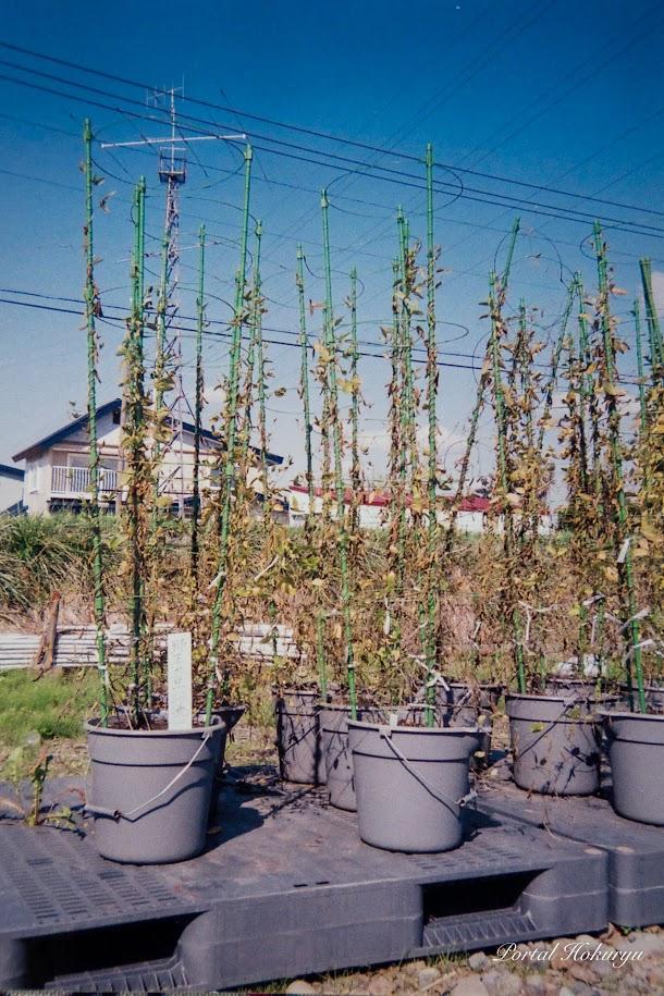 野生大豆(ツルマメ)成熟期