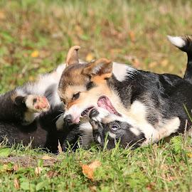 Puppy wrestling by Mia Ikonen - Animals - Dogs Puppies ( mia ikonen, pembroke welsh corgi, playing, funny, finland )