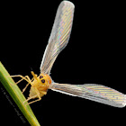Derbid Planthopper