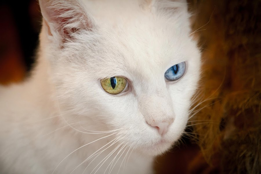 by Javier Lima - Animals - Cats Portraits