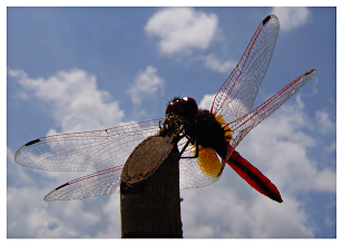 Photo: Dragonfly & Clouds  This was an exercise in patience. No tripod. No shutter cable. Camera on macro. I was leaning over the water with the camera (Ricoh Caplio GX8) just an inch or so above the surface trying to remain as motionless as I could. Then I waited...and waited. Then it landed. I took the shot without being able to see the back screen or look through the view finder. The end result was spectacular!