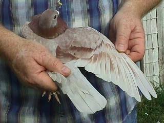 عکس از کبوتر ایرانی در کانادا