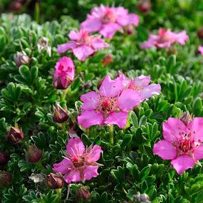 Triglav flower (Potentilla nitida) by Renata Peterman - Flowers Flowers in the Wild ( beautiful nature, julian alps, pink flower, flower, mountain flower )