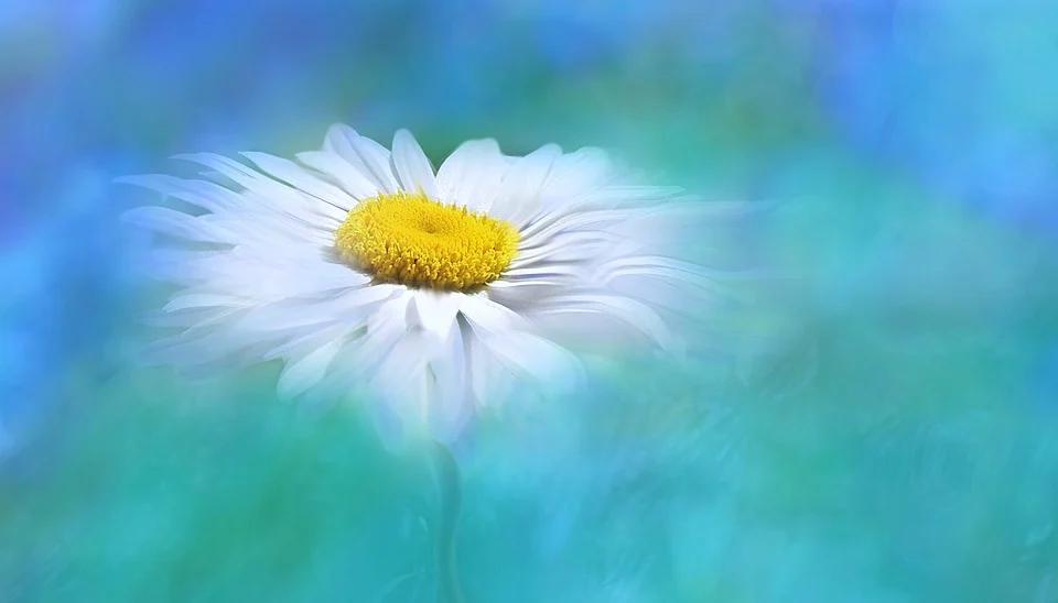white daisy on blue background