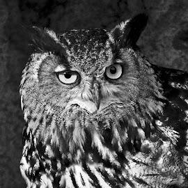 Owl observed in Camargue. by Lorraine Bettex - Black & White Animals (  )