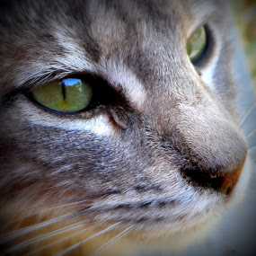 Siri by Anna Heaslett - Animals - Cats Portraits