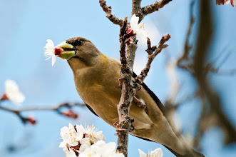 Photo: Apricot blossoms are tasty