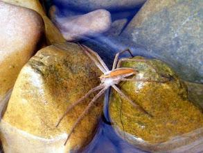 """Photo: Araignée """"Pisaura mirabilis"""" fait trempette au bord du ruisseau - Lubéron (04)"""