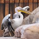 White Pelican; Pelícano Blanco