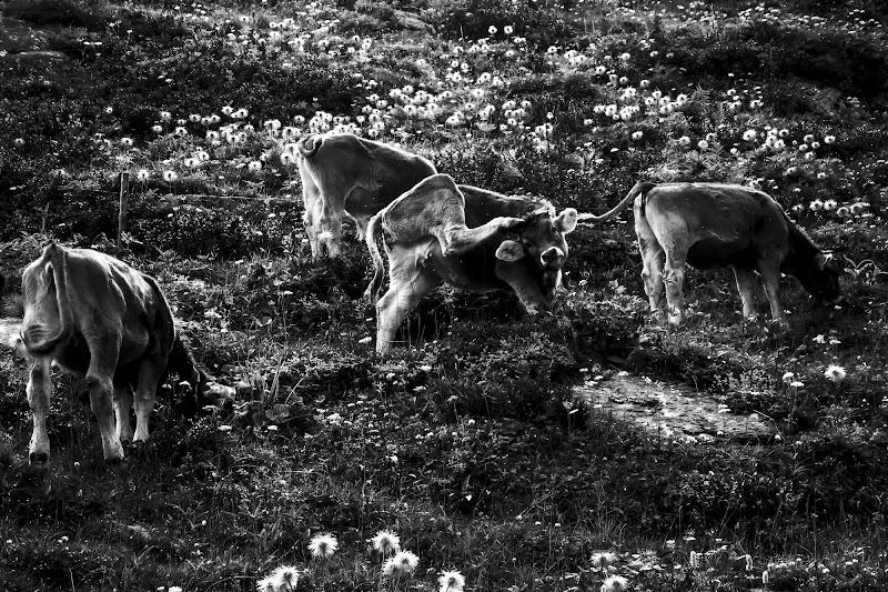 Cow. di Emb93