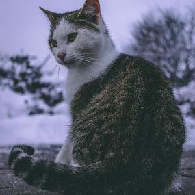 stranger by Paul Voie - Animals - Cats Portraits ( close up, snow, cat, winter, portrait )