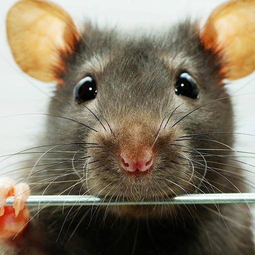 rat wallpapers