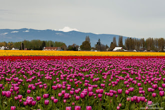 Photo: At the Foot of Mt. Baker ...are the tulip and daffodil gardens of Roozengaarde in Mt. Vernon, WA and is one of the most beautiful gardens I have ever been privileged to visit. The views are breathtaking with the glorious colors of the gardens against a mountainous backdrop. Thank you +Kate Church for being my photographer buddy and the instigator to visit them!  +Breakfast Club thanks to +Gemma Costa and +Breakfast Club  +Breakfast Art Club thanks to +Kate Church and +Breakfast Art Club