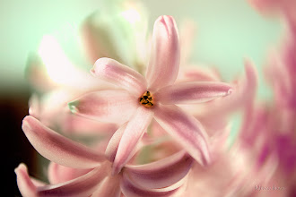 Photo: ...embrace happiness...  Happy Friday/Floral Friday and lots of happy thoughts today :)  My lovely pink hyacinths as contribution to #floralfriday  +FloralFriday by +Tamara Pruessner; #breakfastclub  +Breakfast Club by +Gemma Costa; #feelgoodfriday +FeelGoodFriday by +Rebecca Borg and +Jason Borg; #fourseasonsfriday +Four Seasons Friday by +Stephonie Schmitz; #colorsonfriday +ColorsOnFriday by +Karsten Meyer and +Britta Rogge; #canonusers   #canon #canonphotographers   #canonphotography , +Canon Users  #promotephotography +Promote Photography  #photography #PlusPhotoExtract  #chicago   #chicagophotography   #chicagophotographers  #10000photographers +10000 PHOTOGRAPHERS by +Robert SKREINER;  View larger image and more works from Purple/Pink Gallery: http://smu.gs/YK4zdC