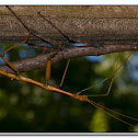 Giant Walkingstick