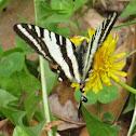 Zebra Swallowtail, Spring Form