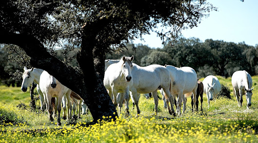 Imagen de archivo de ganado equino.
