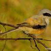 long-tailed shrike or rufous-backed shrike