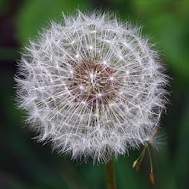 The Great Escape! by Chrissie Barrow - Nature Up Close Other Natural Objects ( dandelion, nature, green, white, seeds, bokeh, closeup, seedhead )