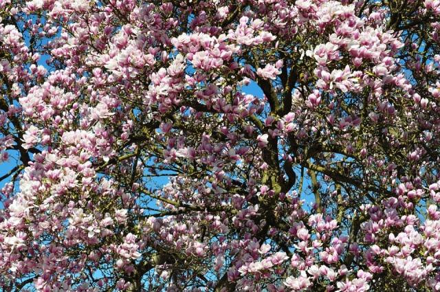 Spring, Blossom, Bloom, Garden, Magnolia, Tree, Nature