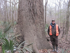 Photo: January took me to Wood County and the virgin bottomland hardwoods of Little Sandy NWF.... Snow on the ground and in the air.... Riding four-wheelers through the muddy bottom.... Finding our state champ overcup oak (Quercus lyrata) (pictured) and a new champ bottomland post oak (Quercus similis)!