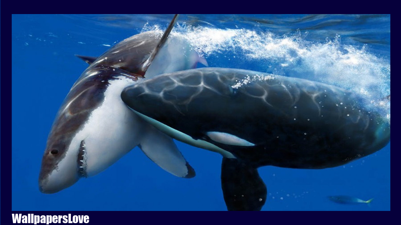 Orca wallpaper android apps on google play orca wallpaper screenshot altavistaventures Image collections