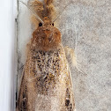 Brown Fluffy-Leg Tussock