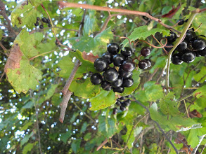 Photo: Ready for the picking - grapes in mid summer in central Florida.