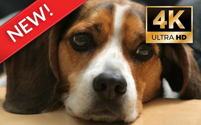 Beagle dog HD Wallpapers - Custom New Tab