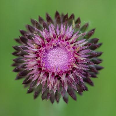 Anche un semplice fiore può far male... di Nicola_Santolin