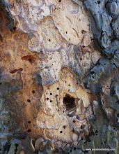 Photo: Signs of bird and beetle activity: adult bark-beetle exit holes; woodpecker feeding excavation; woodpecker bark-flaking; and (look carefully!), a few claw marks from feeding woodpeckers.