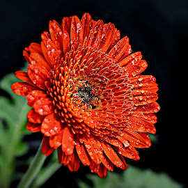 Red Gerbera by Pieter J de Villiers - Flowers Single Flower