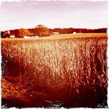 Photo: corn still in the fields