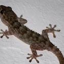 Moorish wall gecko