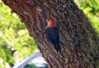 Photo: Woodpecker in the garden