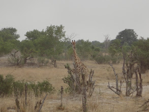 Photo: A giraffe checking out the waterhole from across the way