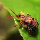 Spiny Leaf Beetle
