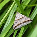 Black-tipped Ptichordis Moth