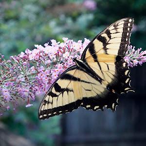 Butterflies 124e.jpg