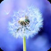 Dandelion HD Live Wallpaper