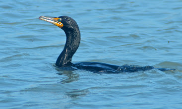 Photo: 130. A cormorant, showing off its bright eye and beak colors.