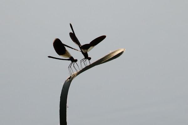 La danza delle libellule di franca_panebianco
