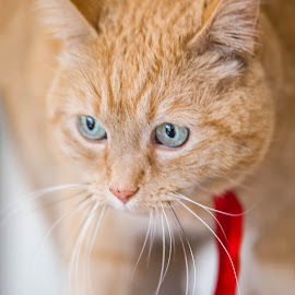 Red Tie for Ginger. by Susan Pretorius - Animals - Cats Portraits