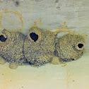American cliff swallow (nest)
