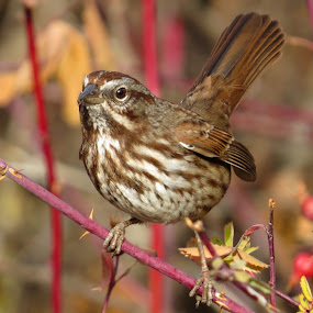 Song Sparrow  by Nick Swan - Animals Birds ( bird, nature, autumn, song sparrow, wildlife )