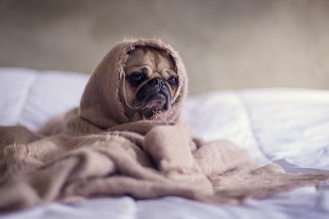 Pug, Dog, Blanket, Bed, Face, Animal, Pet, Funny